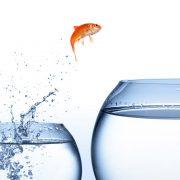goldfish jumping into new bowl